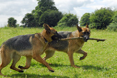 SFSBlog_germanshepherds_maccath_flickerCC_stick2gether